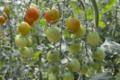 Fraîcheur des Cabanes, tomate cocktail