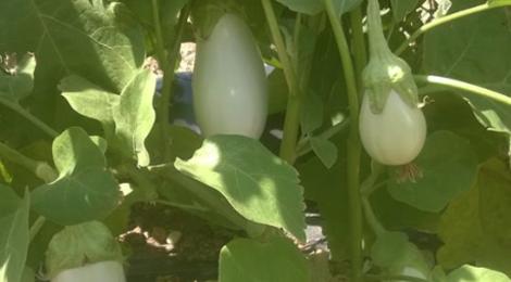 O'BIO 2 Villedaigne, aubergine blanche