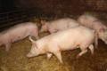 La Ferme Des Eglisieres. viande de porc