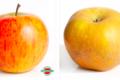 Rothgerber – ferme fruitière. Reinette grise du Canada