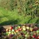 Les Vergers d'Ambrief. Pommes
