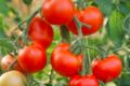 Le pig vert. tomates