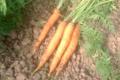 Ferme Des Vallees. carottes