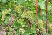 Champagne Jean Louis Petit. Domaine de Brochot