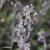 Thym-serpolet-fruit
