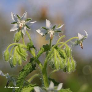 Bourrache blanche Fleur