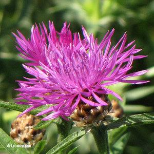 Centaurée scabieuse Fleur