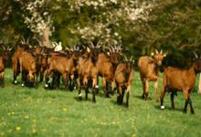 Chèvrerie des vifs