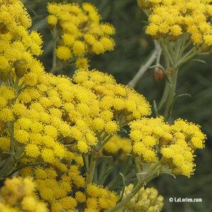 Herbe à curry Inflorescence