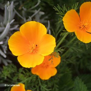 Pavot de Californie Inflorescence