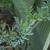 Pavot-de-californie-feuille