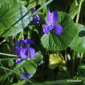 Violette odorante Fleur