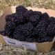 Ô P'tits Fruits d'Anne. Mûres