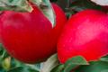 Les pommes d'Abit. Flamboyante