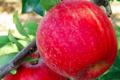 Les pommes d'Abit. Galaxy