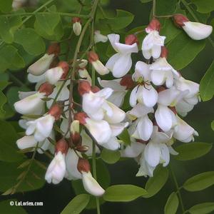 Robinier faux acacia Inflorescence