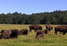 Elevage du Palais. Bisons nature
