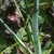 Muscari-a-toupet-feuille