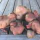 Les produits du Pic Ombo. Patate douce