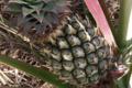 Les produits du Pic Ombo. Ananas