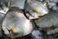 Tahiti Fish Aquaculture. Paraha peue