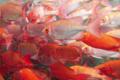Kaina Fresh Fish - Cobia 2. Mataanaana