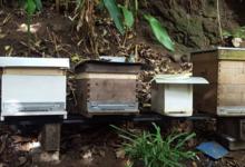 Les abeilles de Ariitaia