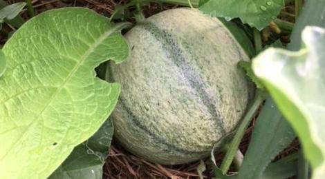 La Ferme Valdieu. melon