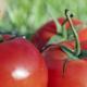 Edith Hourdeau. Tomates