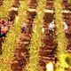 Blanc d'Ajaccio | Corse vin blanc | Vins de terroir