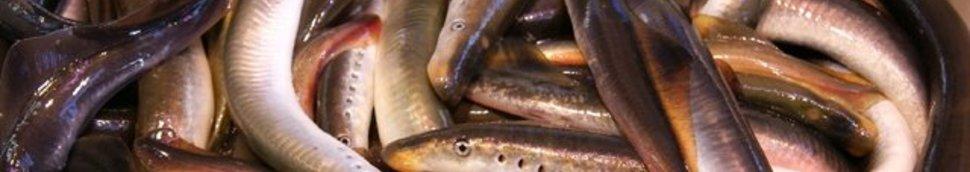 Recettes et plats à base d'anguille